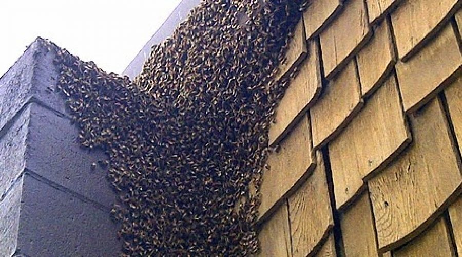 How to remove bees or yellow jackets